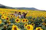 [레저] 지금, 해바라기 물결 대규모 꽃밭 조성, 고향 마을 같은 풍경 등 매력 다양