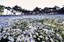 [레저] 억새꽃, 코스모스, 구절초… 가을꽃이 절정인 그 곳