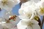 제주 벚꽃 벌써? 꽃샘추위에 개화…내일날씨, 일교차 커·쌀쌀(제주도날씨)